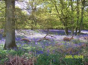 Bluebells in Fairyland © Nick Davies