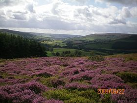 Flowering heather on the moors above Chop Gate © Philip Cookson