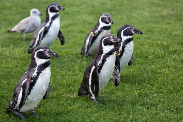 Humboldt Penguins at the Welsh Mountain Zoo, Colwyn Bay