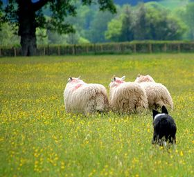 Cwmdu Sheepdog Trials © Stephanie Powell