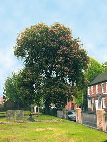 Horsechestnut tree St Swithun's Church Yard, Retford © Chris Watson