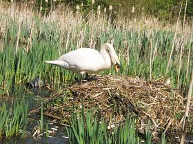 New swan nest at Ford Green Nature Reserve © Norma Williamson