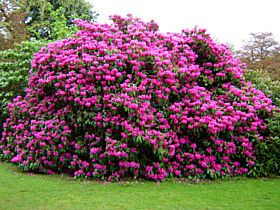 Rhododendron in the park at Fyvie © Margareta Brogardh