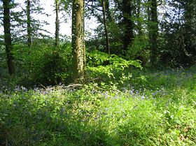 Kennerleigh woods in the bluebell season © Pippa Pettifer