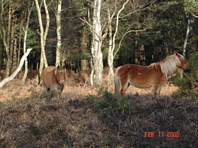 New Forest Ponies near Lyndhurst © A.M.Taylor