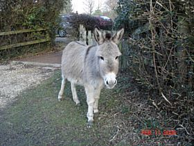 New Forest Donkey near Lyndhurst © A.M.Taylor