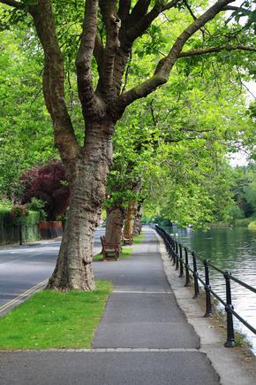 Plane trees on the river bank alongside the River Thames in Maidenhead