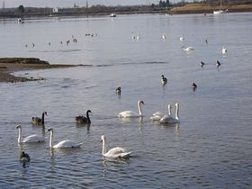 The swans - a popular sight along the river © Deborah Blackman