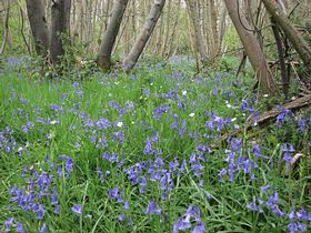 Early may 2008 bluebells © Frank Gregory