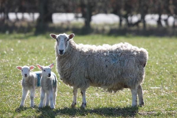 Spring lambs in a field near Peterhead, Scotland