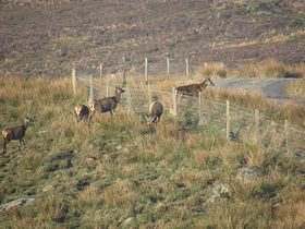 Deer at Heatherbank Guest House in Strontian