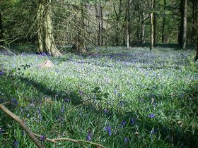 Bluebells in Clain Wood © Philip Cookson