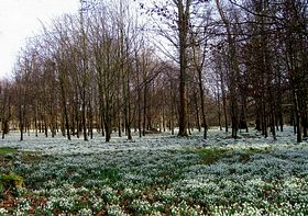 Snowdrops in Welford Park